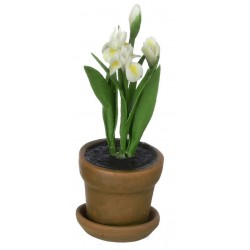 IRIS IN AGED POT/WHITE
