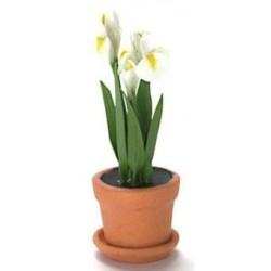 WHITE IRIS IN POT