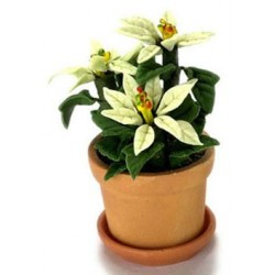 POINETTIA IN POT, 3 WHITE FLOWERS
