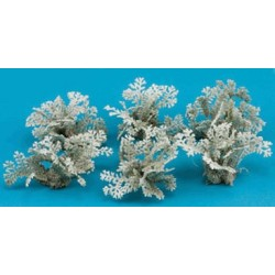 Dusty Miller 6Pc